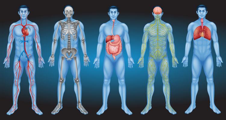 Sistemas Do Corpo Humano Educa Mais Brasil