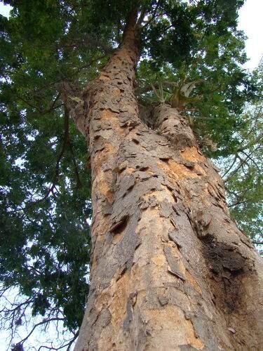 O ciclo do Pau-Brasil quase provocou a extinção da árvore de Pau-Brasil.