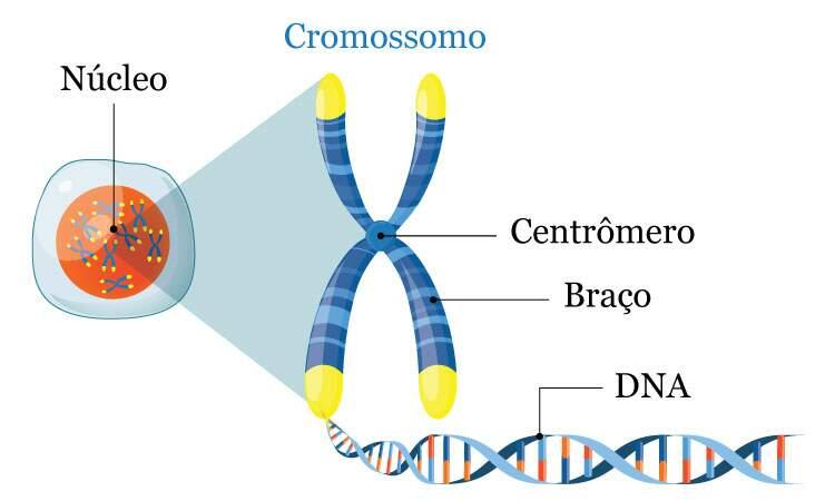 https://images.educamaisbrasil.com.br/content/banco_de_imagens/guia-de-estudo/d/cromossomos.jpg